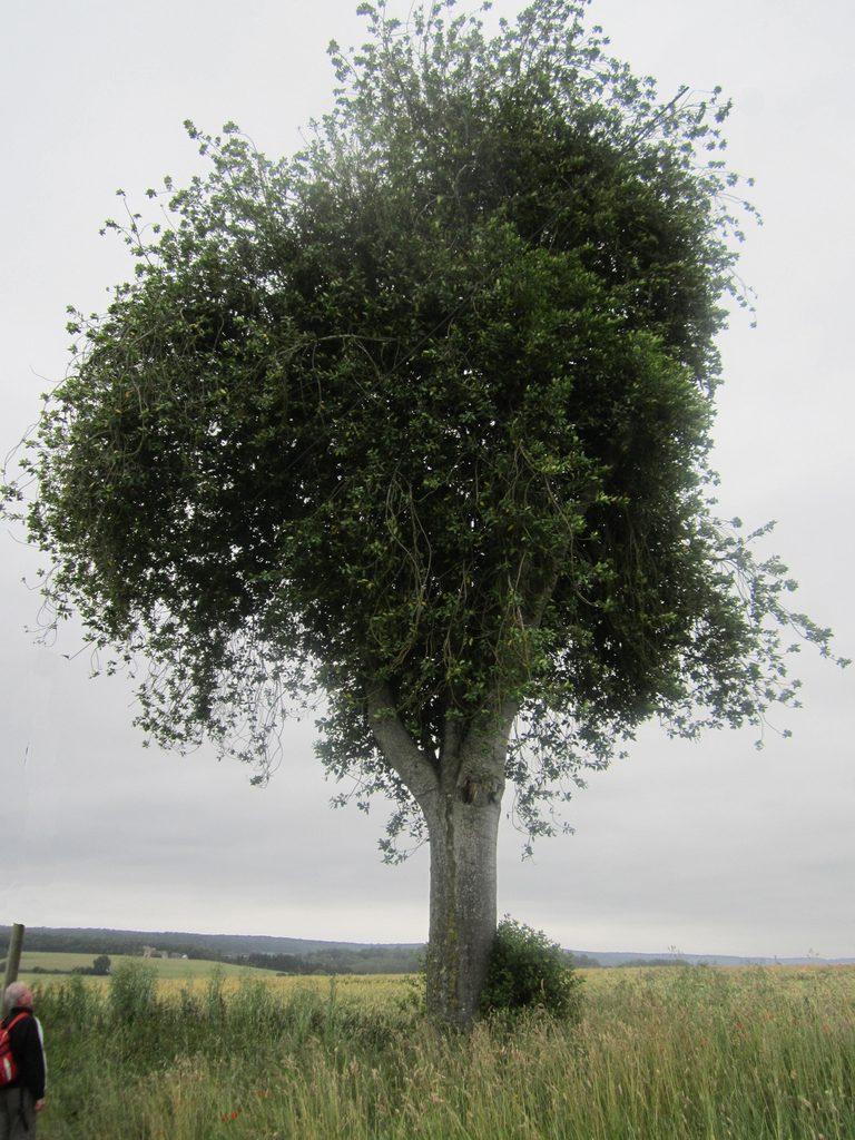 Le houx de la Pinardière